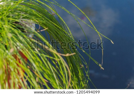 Thin grass tilted above the water in which the sky is reflected. Great summer photo, for the design of the summer and autumn themes of botany. The tips of the grass have small spikelets. #1205494099