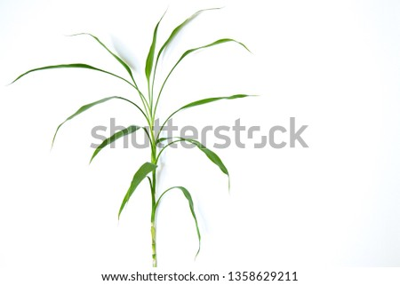 Thin plant and thin leaves