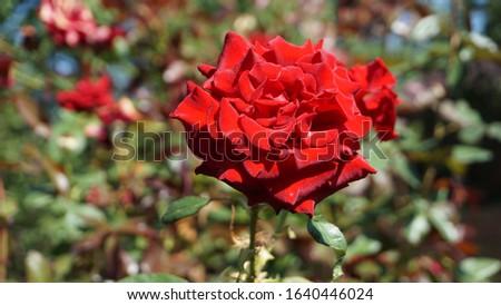 thin rose on a thin stalk