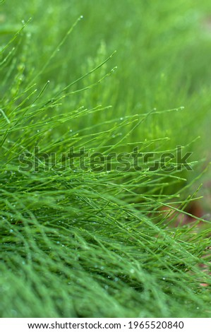 Thin tubular green grass with a water drops in a meadow in vertical format Foto stock ©