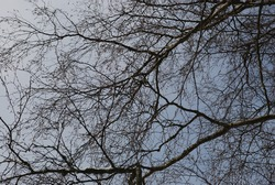 Thin twisting branches of a birch tree without leaves. Winter day against the background of a light blue sky with clouds crosshairs of many thin branches of a birch tree.