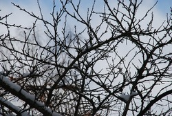 Thin twisting branches of a plum tree without leaves. Winter day against the background of a light blue sky with clouds crosshairs of many thin branches of a plum tree.