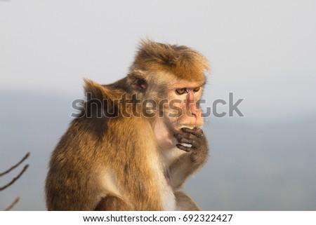 Thinking monkey #692322427