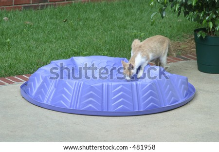 Thirsty Kitty Drinking from Purple Kiddie Pool