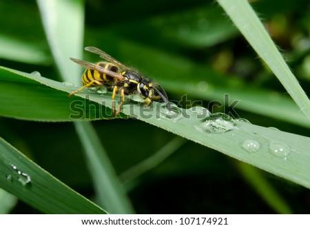 thirsty wasp, reeds, raindrops