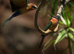 This action image shows a pair of wild bee-eater (Merops bullockoides) birds sharing a mealworm snack together as one lands on a branch next to the other.