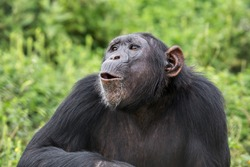 This adult chimpanzee is using pant hoot calls to communicate to other members of its group. There are many different calls of which signify different things.