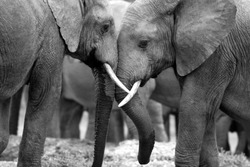 This amazing black and white photo of two elephants interacting was taken on safari in Africa.