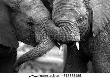 stock photo this amazing black and white photo of two elephants interacting was taken on safari in africa 316568165 - Каталог — Фотообои «Животные»