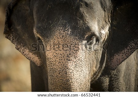 This Asian elephant was eating hay and greens.