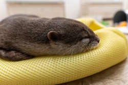 This Asian small-clawed otter is kept indoors.