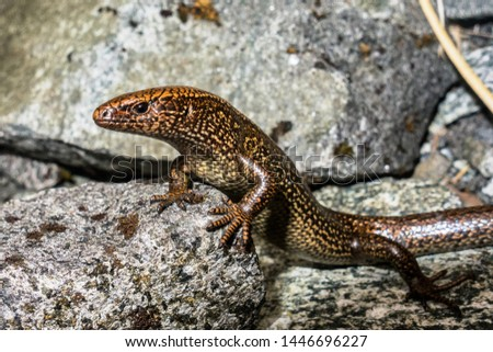 This Awakopaka skink from Fiordland, New Zealand was only discovered in 2017 and is currently only known from two individuals. This is the second individual and first pregnant female found.