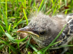 This baby bird has been lost or abandoned in the grass in Missouri and looks lost and forlorn and very sad and lonely. Bokeh effect.