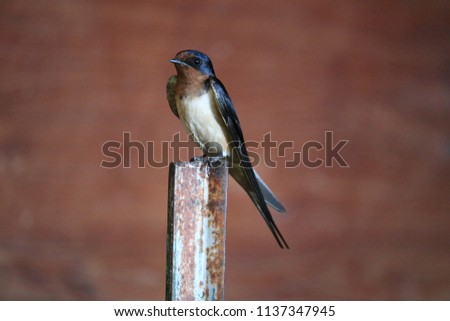 This barn swallow has a blue head and tan chest. He is curious and beautiful, waiting for his offspring to hatch. #1137347945