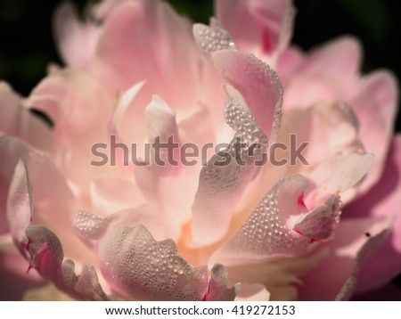 This beautiful pink peony, #419272153