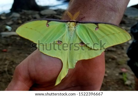 This beautifully flawed green unique moth landed on my husband's hand and I just had to get a picture.