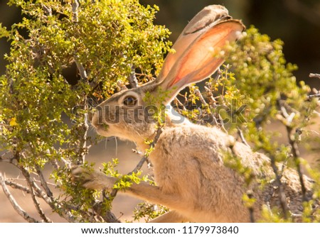 This black-tailed jackrabbit munching on a creosote bush in Veteran's Oasis Park in Chandler, Arizona. Сток-фото ©
