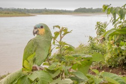This Blue-fronted Amazon rests along  the bank of  the Napo River in Ecuador's Amazon Basin.  Intelligent, beautiful, noisy--these parrots are amazingly hard to see when they disappear ina leafy tree.