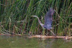 This Blue Heron takes flight at Patagonia Lake which supports a diversity of wildlife in southeast Arizona.