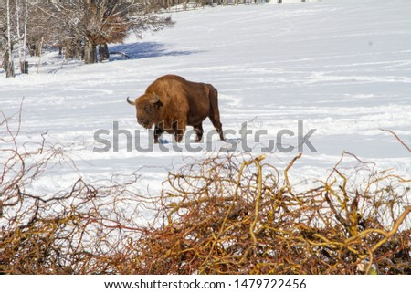 This buffalo is part of a herd on a farm in Kristanov, Czech Republic, near the Sumava national park. They are bred for genetic diversity, also for meat. Its food is in the front of the picture.