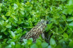 This bullfrog (Rana Catesbeiana) is a type of bullfrog that is easy to adapt to the surrounding environment, so it can reproduce quickly.