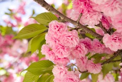 This cherry blossom is called