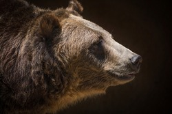 This close up, detailed macro image shows a side view portrait of giant grizzly bear gazing forward.