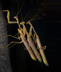 This close up image showcases the side view of a group of three Carolina mantis (Stagmomantis carolina) praying mantis insects in a dangerous pile up.
