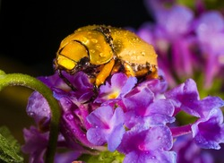 This close up image shows a dew covered cotalpa lanigera (Goldsmith beetle) walking along purple flowers.