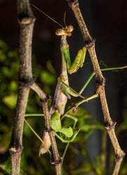 This close up photo shows the side view of a male Carolina mantis (Stagmomantis carolina) praying mantis insect trying to camouflages plants and looking towards the viewer.