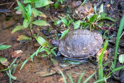 This common box turtle has found a nice puddle of water to enjoy after a rain in Missouri. Bokeh effect.