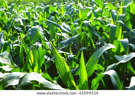 This corn field is vivid green in the summer sun.