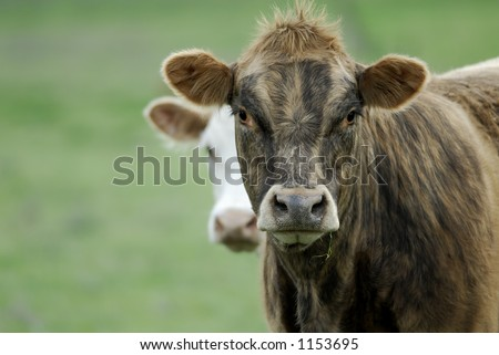 This cow had a ton of personality, and the hairdo to match! She watched me for quite some time as she chewed her grass, and didn't seem to mind one bit that i found her poofy hair do quite funny!