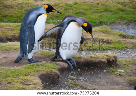 This cute King Penguin couple step carefully as they walk to the beach at their colony at Fortuna Bay, South Georgia Island.