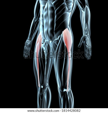 This 3d illustration shows a view of the tensor fasciae latae muscles on xray musculature Zdjęcia stock ©