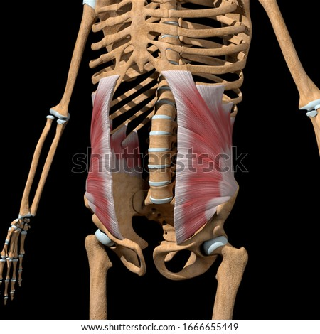 This 3d illustration shows the abdominal internal oblique muscles on skeleton Сток-фото ©