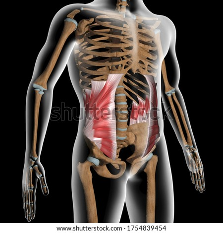 This 3d illustration shows the abdominal internal oblique muscles on xray body Foto stock ©