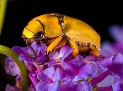 This detailed macro image shows a stunning cotalpa lanigera (Goldsmith beetle) on a lush purple flower bloom.