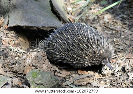 this echidna is in search for food