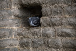 This feral pigeon (Columba livia domestica) has taken up residence in one of the holes created by a missing brick in Newark Castle. This small gap provides the bird with adequate shelter.