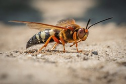 This frightening looking insect looks like a hornet, but it's actually a Cicada Killer Wasp. They don't typically bother humans unless provoked.