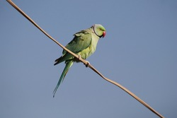This green bird is known as Parrot in India, while its real name is Indian ring-necked parakeet, the parrot is perched on a light wire, the place is my home, Ranavav