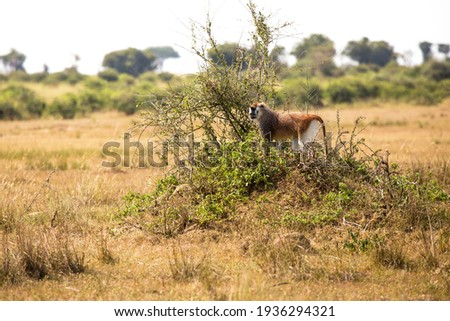 This ground dwelling Patas monkey (Erythrocebus patas), also called Wadi or Hussar monkey.He rested on this mound to gain a better view of the surrounding area. Foto stock ©