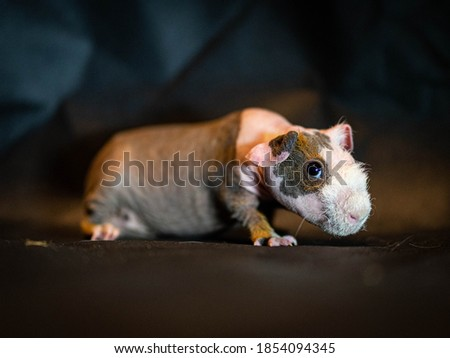 This guinea pig is particularly sweet and generally quieter than its hairy ilk.The Skinny originated in a laboratory, but would not be genetic engineering... It would simply be a mutation of the guine Stok fotoğraf ©