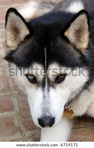 Siberian Husky With Blue And Brown Eyes This handsome siberian husky