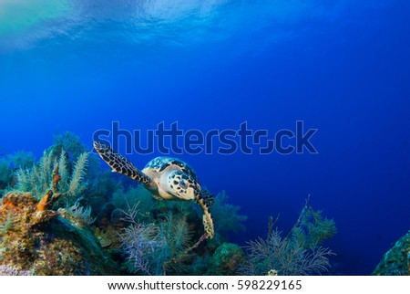 This Hawksbill turtle is happy to be alive and enjoying swimming over the tropical Caribbean coral reef. The warm deep blue ocean is the perfect habitat for this relaxed little creature.  #598229165