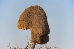 This haystack like nest house a large number of sparrow sized birds and may be used by many generations of birds.