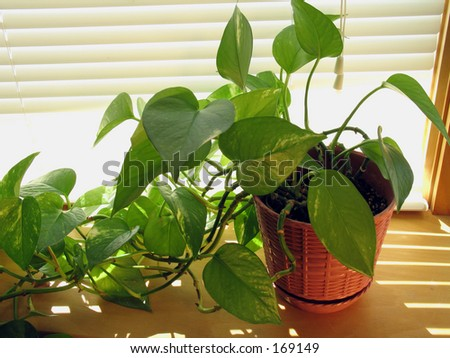 This house plant, pothos has been photographed on the  window sill
