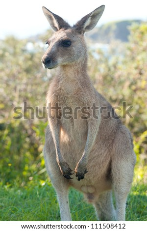 This image shows a kangaroo in Emerald Beach, Australia
