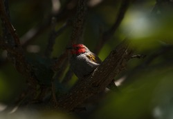 This image shows a perched yellow-winged pytilia (Pytilia hypogrammica) bird in dramatic sunset lighting.